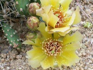 Brittle Prickly Pear, native to Iowa (Opuntia fragilis)