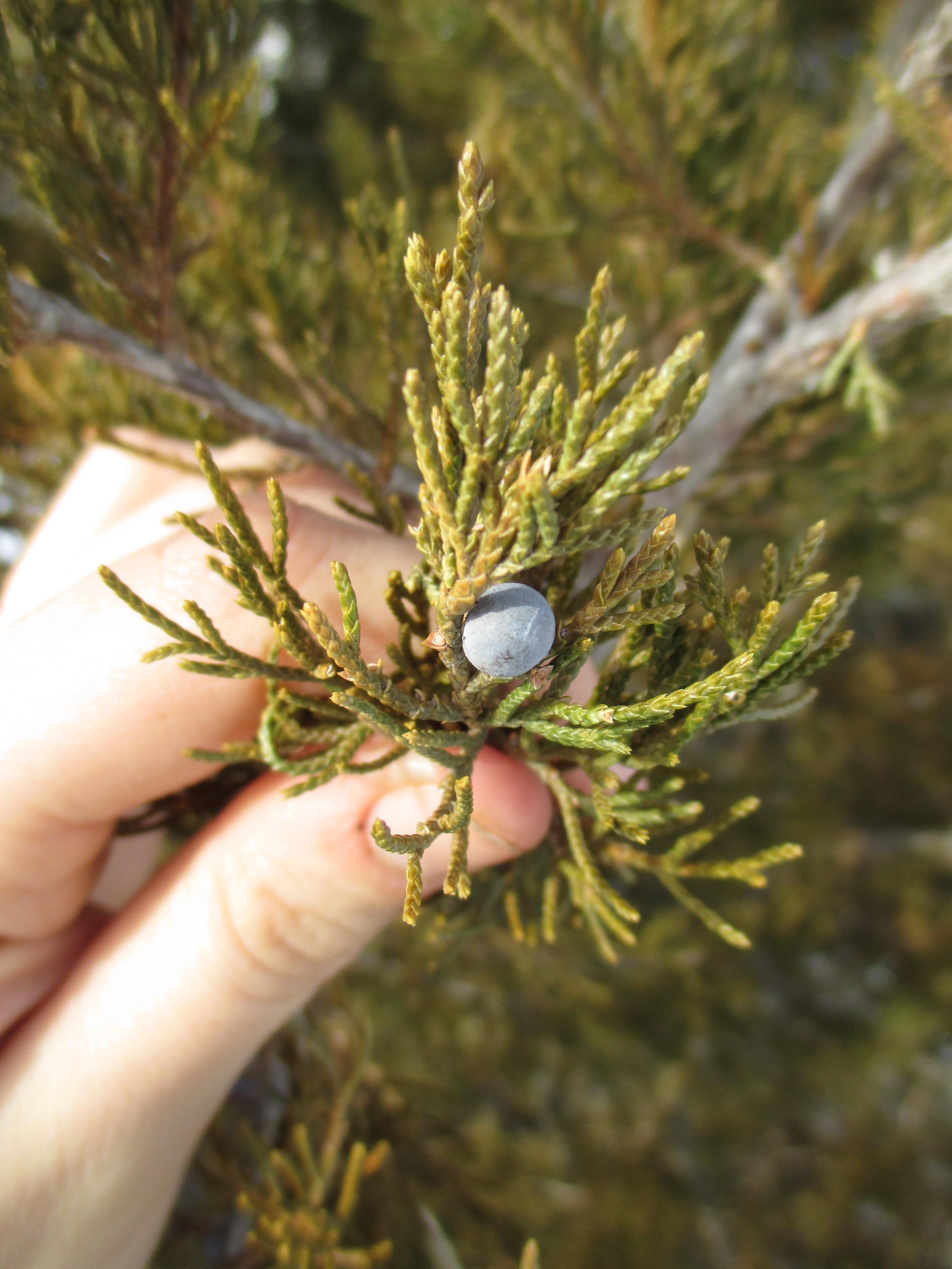 Cedar berries herbalism deer nation herbs