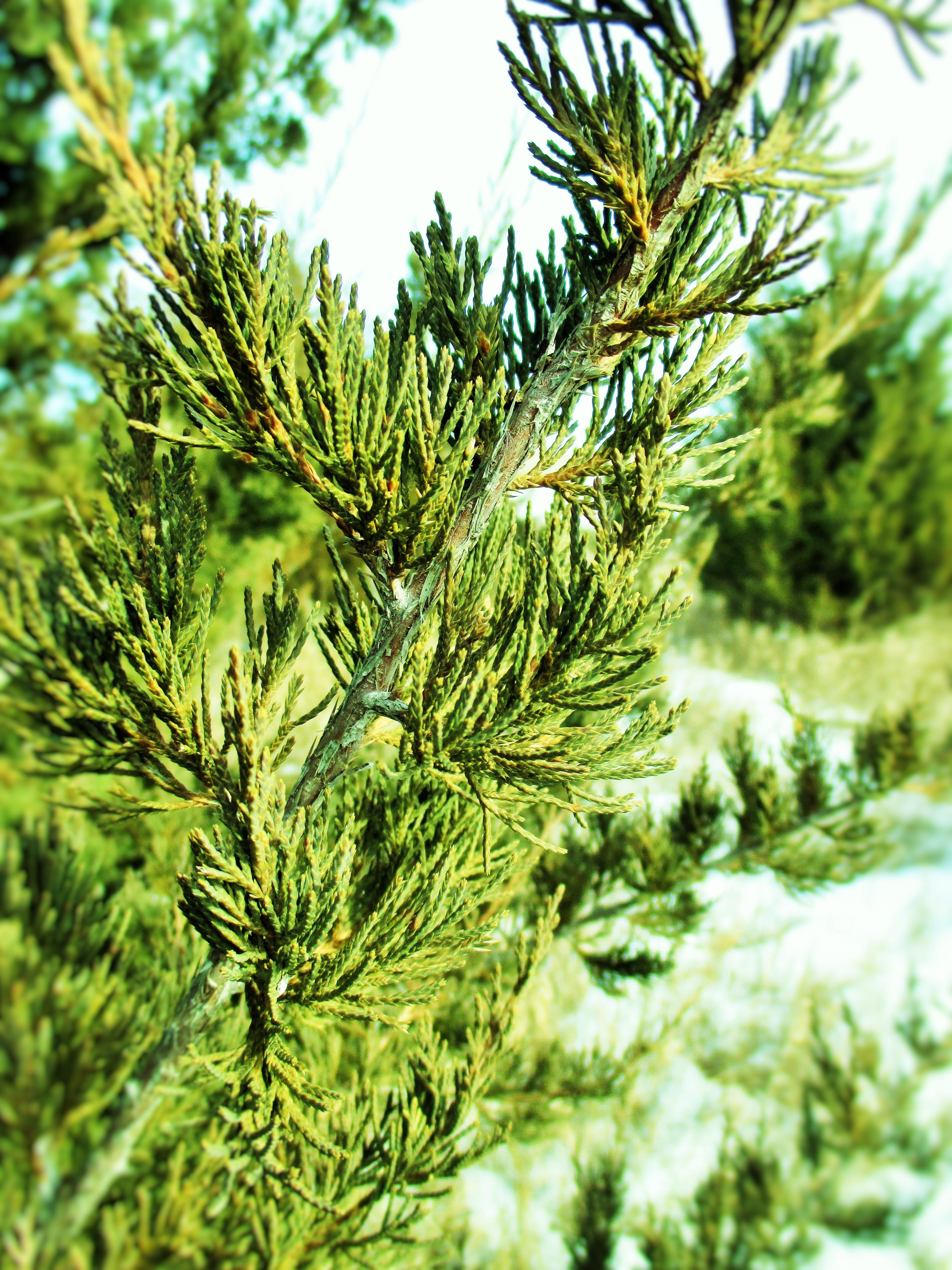 Eastern Red Cedar ~ Medicinal uses of eastern red cedar deer nation herbs
