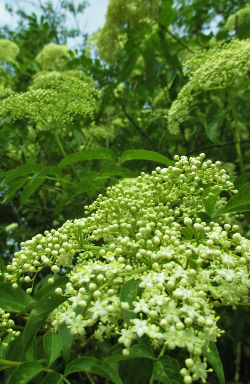 Elder Flowers | DeerNationHerbs.com