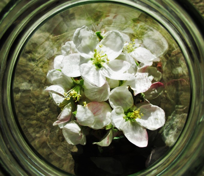 Apple Blossoms in Jar Closeup | DeerNationHerbs.com