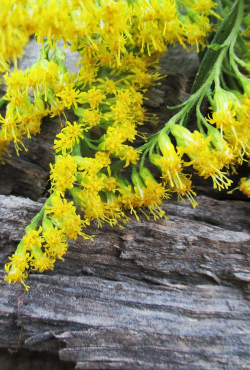 Goldenrod Blossoms in Beet Shrub| Deer Nation Herbs